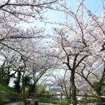 sakura kouen