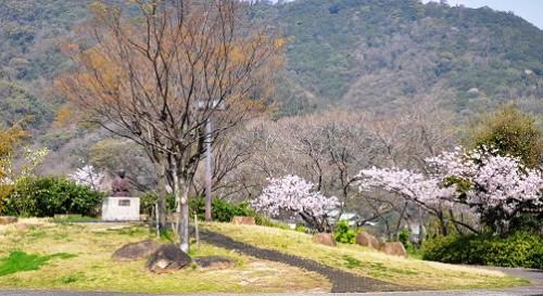 sakura maeniwa